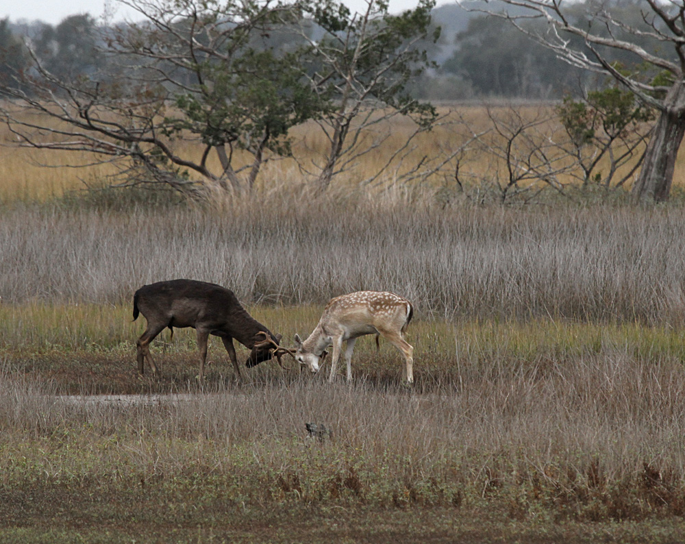 0051  St Simons Marsh Buck Fight.jpg