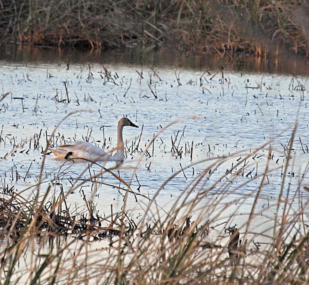0862  Tundra Swan.jpg