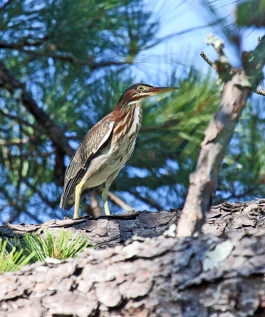 2123  Green Heron    (First Summer).jpg
