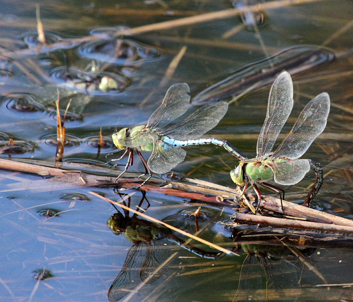 2440 Common Green Darner  Dragonflies Mating.jpg