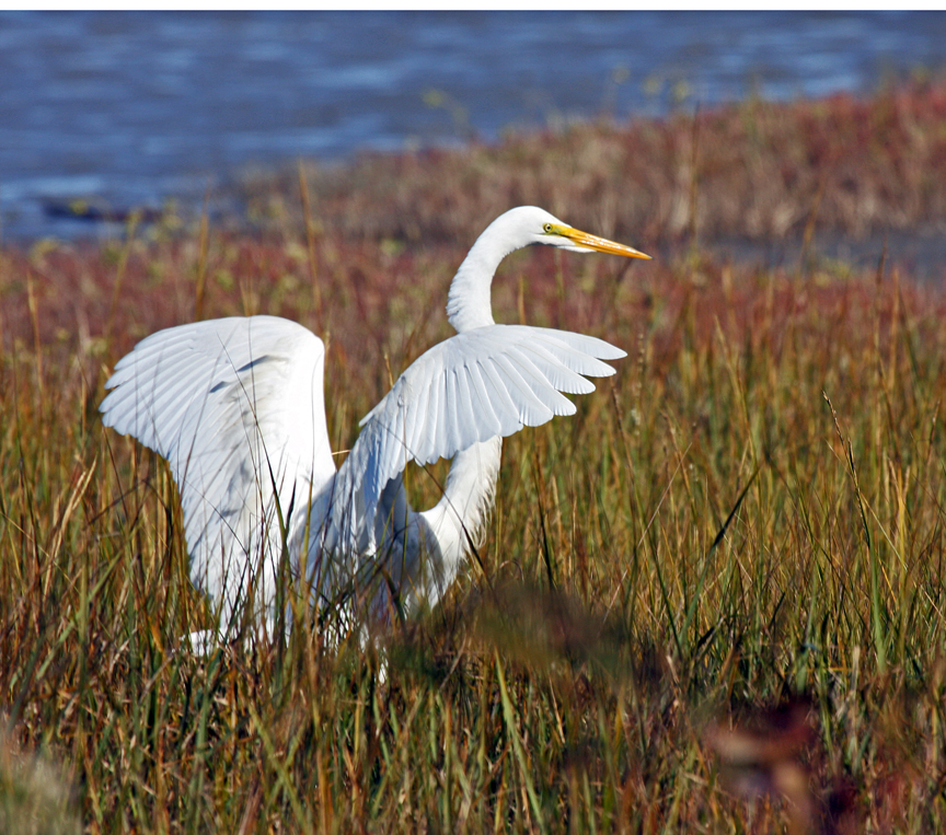 3006 Greater Egret Preparing To Fly In St Simons Marsh.jpg