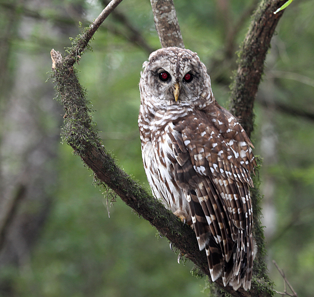 7438  Barred  Owl.jpg