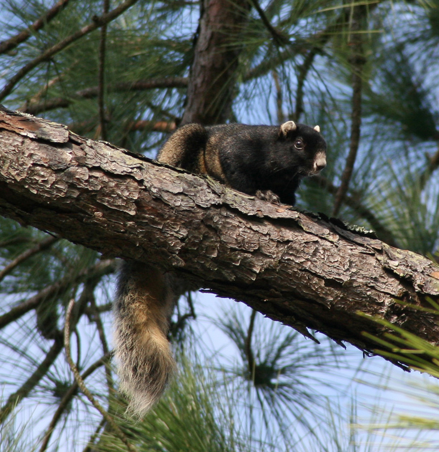 Fox Squirrel_edited.jpg