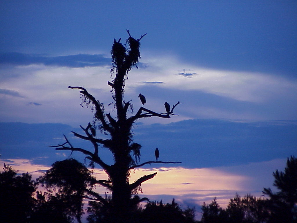 Wood Storks at Sunset (2).jpg