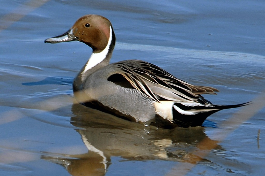 pintail-duck-1024x681.jpg