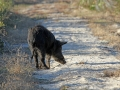 2758---1-19-2012 Wild Hog on Butler Island.jpg