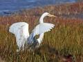 3006 Greater Egret Preparing To Fly In St Simons Marsh.jpg