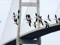 3345 American Avocet in Flight at Sidney Lanier Bridge.jpg
