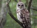 7438  Barred  Owl.jpg