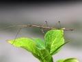 8408 Stick Bug (Ctenomorphodes chronus).jpg
