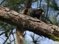 Fox Squirrel_edited.jpg