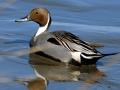 pintail-duck-1024x681.jpg